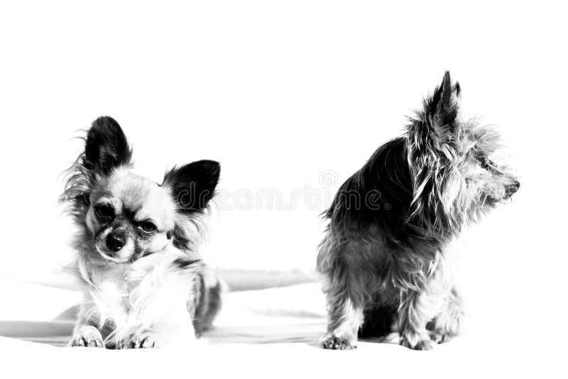 El sentarse de dos perros imagen de archivo