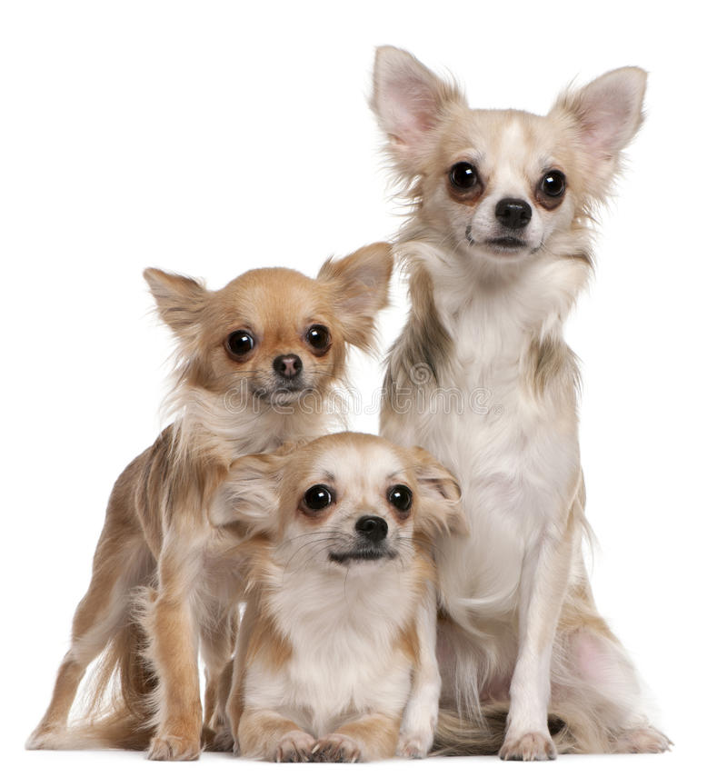 El sentarse de tres chihuahuas fotografía de archivo