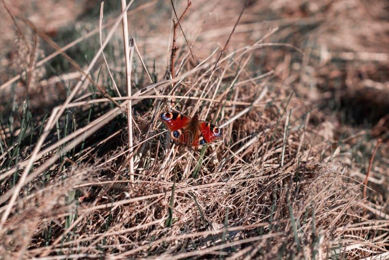 El sentarse rojo de la mariposa aislado en hierba La mariposa se sienta en la paja imagenes de archivo