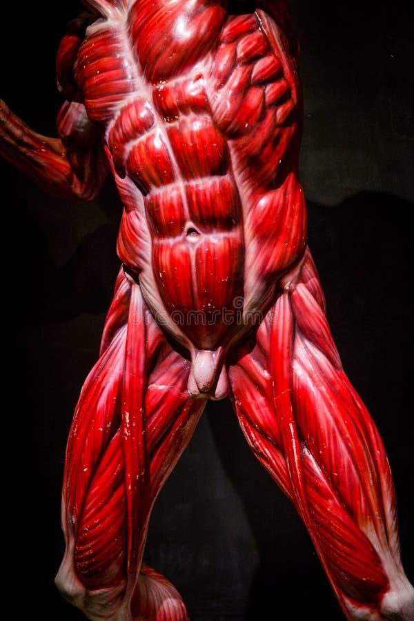 El Ser Humano Muscles El Modelo De La Anatomía En Negro Imagen de ...