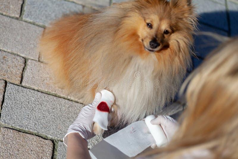 El ser humano pone un vendaje en una pata de la sangría fotografía de archivo