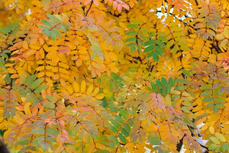 El serbal colorido del otoño se va en el árbol imagenes de archivo