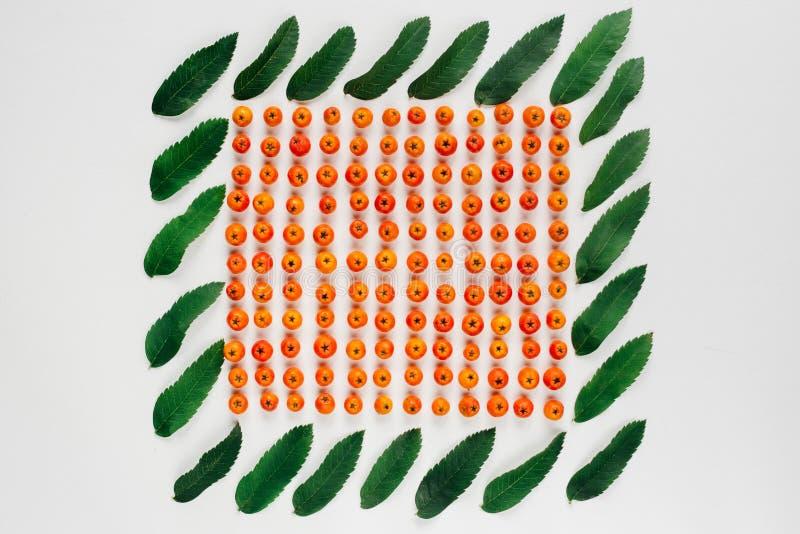El serbal maduro con las hojas verdes del serbal aisladas en el fondo blanco, otoño colorea el primer de la ceniza de montaña imagenes de archivo