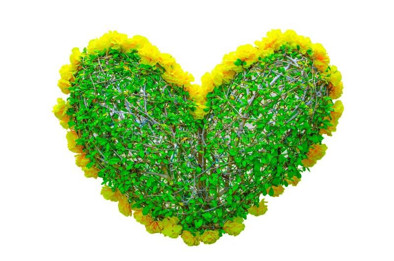 El seto en forma de corazón cortó el árbol con los pétalos amarillos florece alrededor aislado en el fondo blanco imagen de archivo