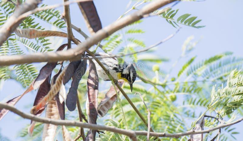 el Setophaga Amarillo-throated Dominica de la curruca se encaramó en un árbol fotografía de archivo
