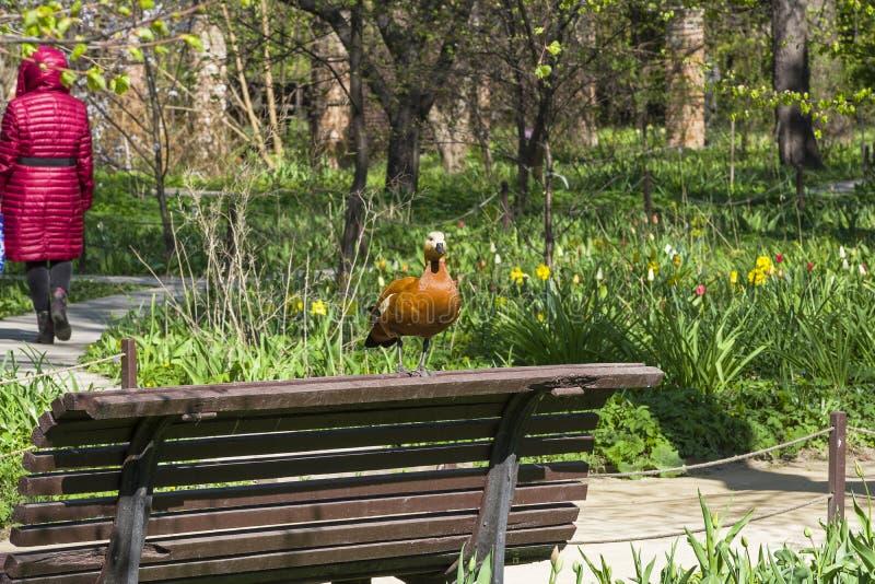 El shelduck rubicundo se está colocando en la parte de atrás del banco en el parque imagen de archivo