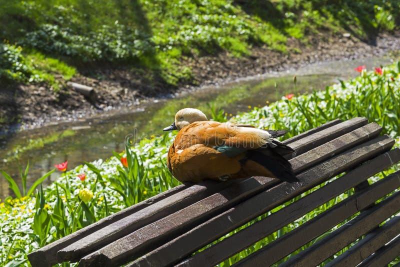 El shelduck rubicundo se está sentando en la parte de atrás del banco en el parque imagen de archivo