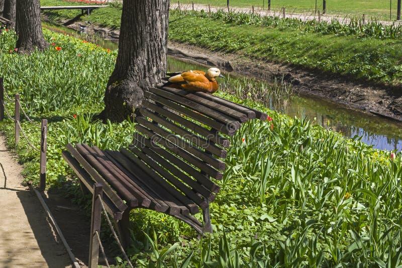 El shelduck rubicundo se está sentando en la parte de atrás del banco en el parque fotos de archivo