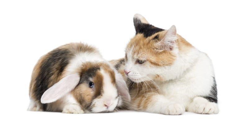 El shorthair europeo y poda el conejo, aislado fotografía de archivo