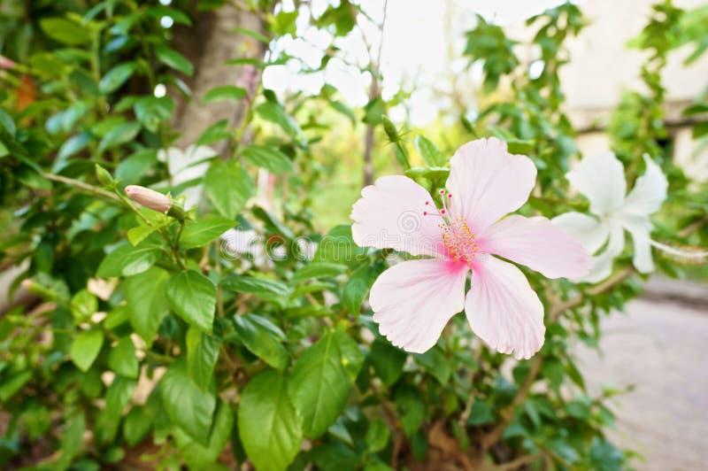 El sinensis de Rosa del hibisco es flor rosada imagenes de archivo