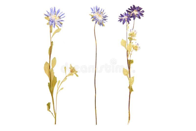El sistema de flores salvajes presionó, el fondo blanco fotografía de archivo