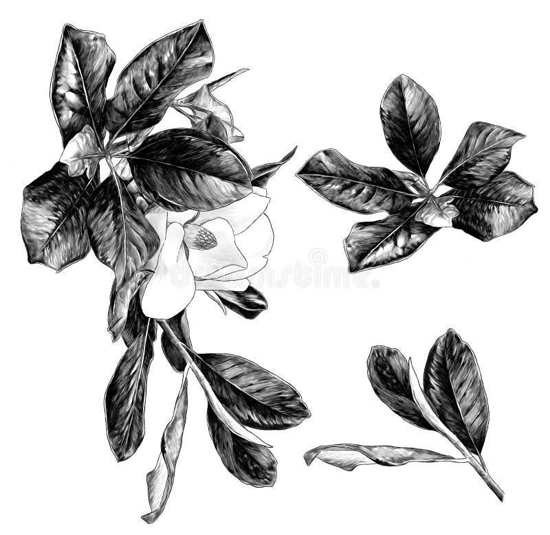 El sistema de la magnolia ramifica con la flor y las hojas ilustración del vector