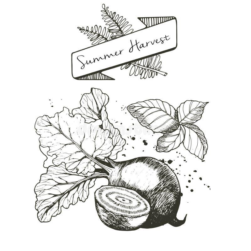 El sistema del vector de la cosecha del verano adornado con la bandera, helecho se va y borra Remolachas y albahaca ilustración del vector