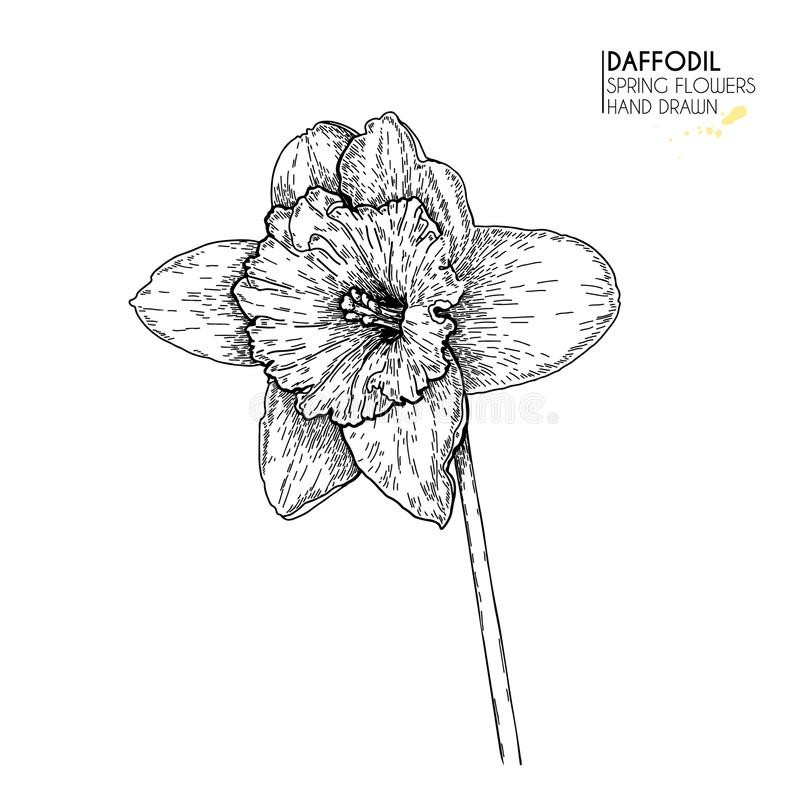 El sistema dibujado mano de narciso o de narciso florece Arte grabado vector Flores del jardín de la primavera Bosquejo de Monocr stock de ilustración