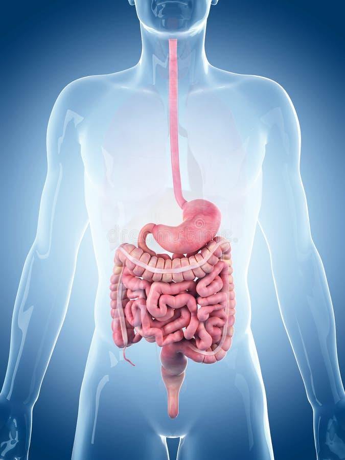 El sistema digestivo ilustración del vector