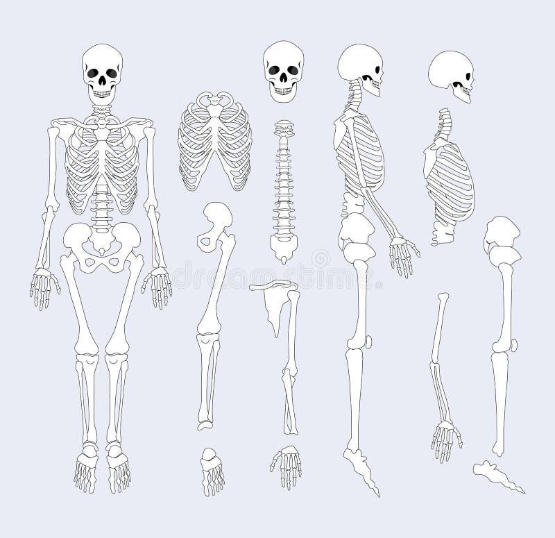 El sistema esquelético humano parte el ejemplo del vector ilustración del vector