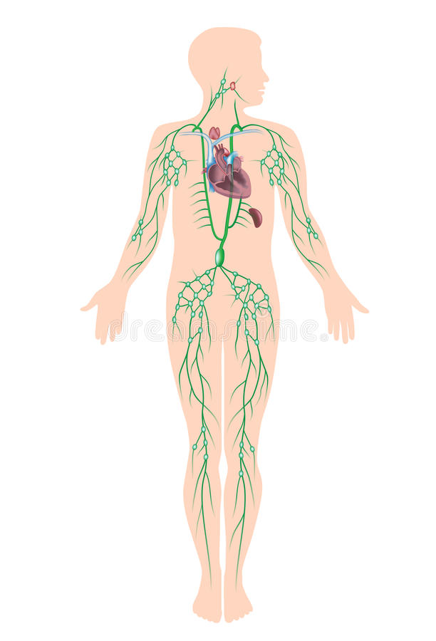 El sistema linfático ilustración del vector. Ilustración de linfa ...