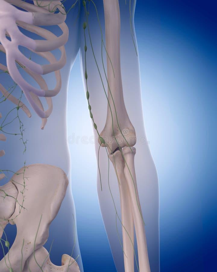 El sistema linfático - el brazo libre illustration
