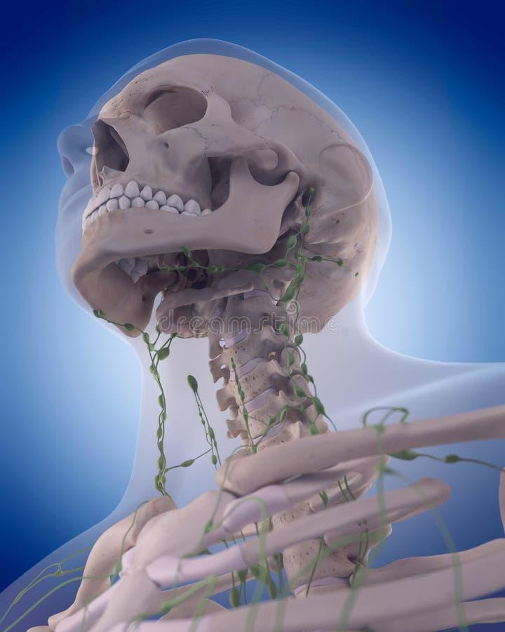 El sistema linfático - el cuello libre illustration