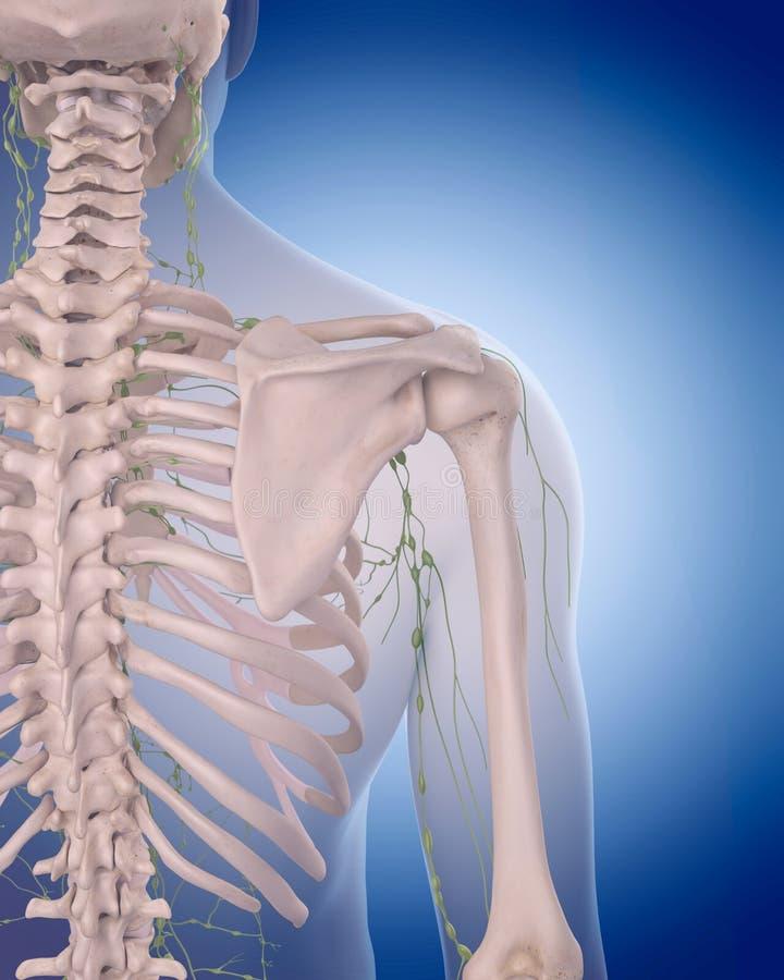 El sistema linfático - el hombro stock de ilustración