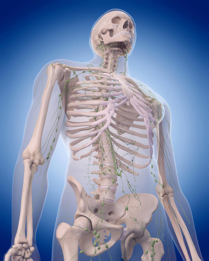 El sistema linfático - el tórax ilustración del vector