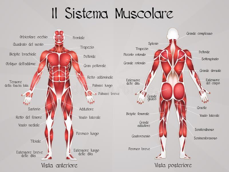El sistema muscular stock de ilustración. Ilustración de diagrama ...