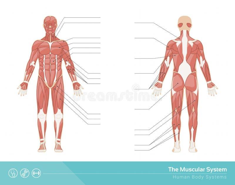El sistema muscular ilustración del vector