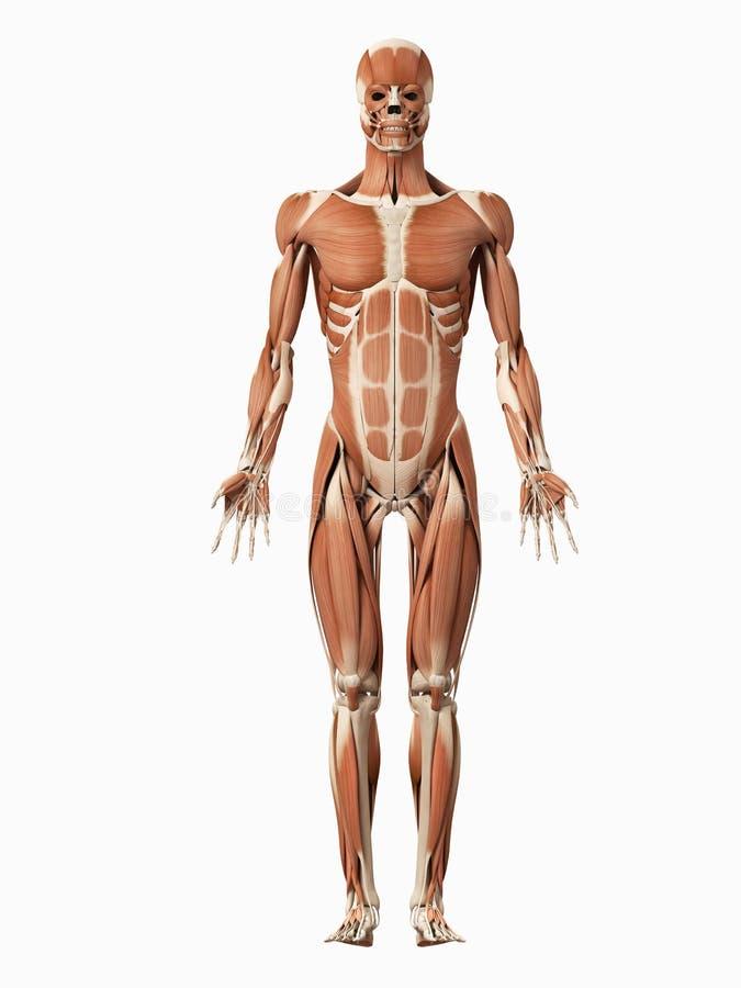 El sistema muscular masculino stock de ilustración