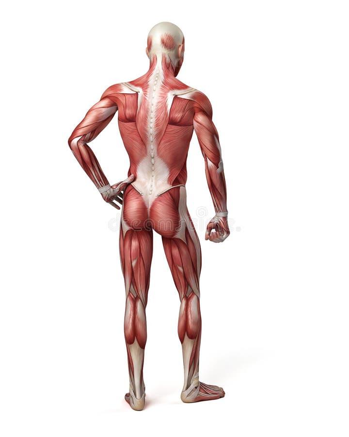 El Sistema Muscular Masculino Stock de ilustración - Ilustración de ...
