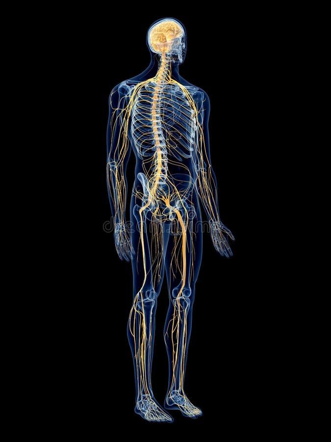 El sistema nervioso ilustración del vector