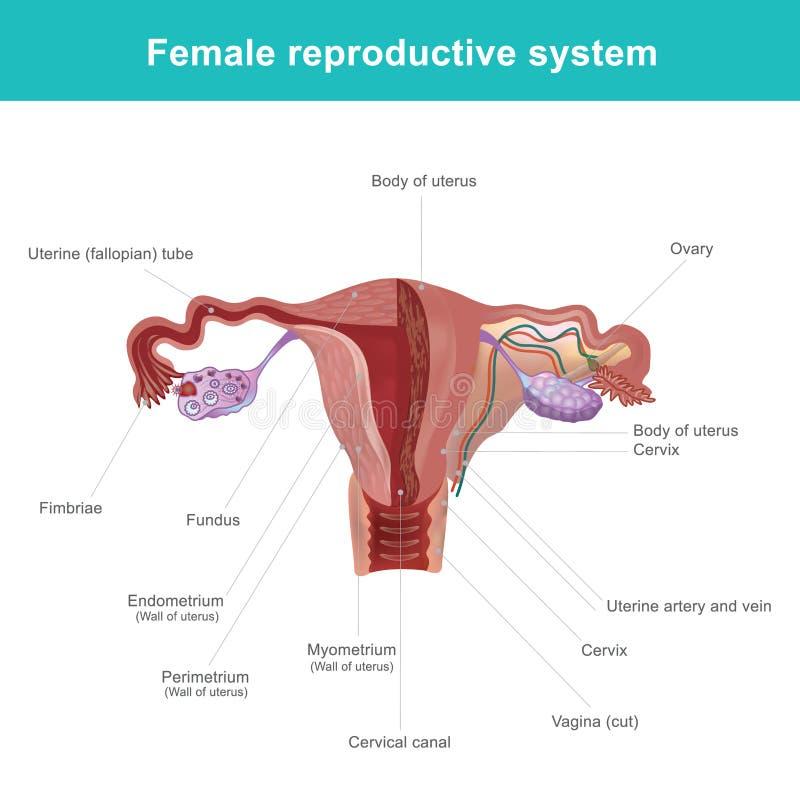 Fantástico Cuadro Femenino Sistema Reproductivo Etiquetado Galería ...