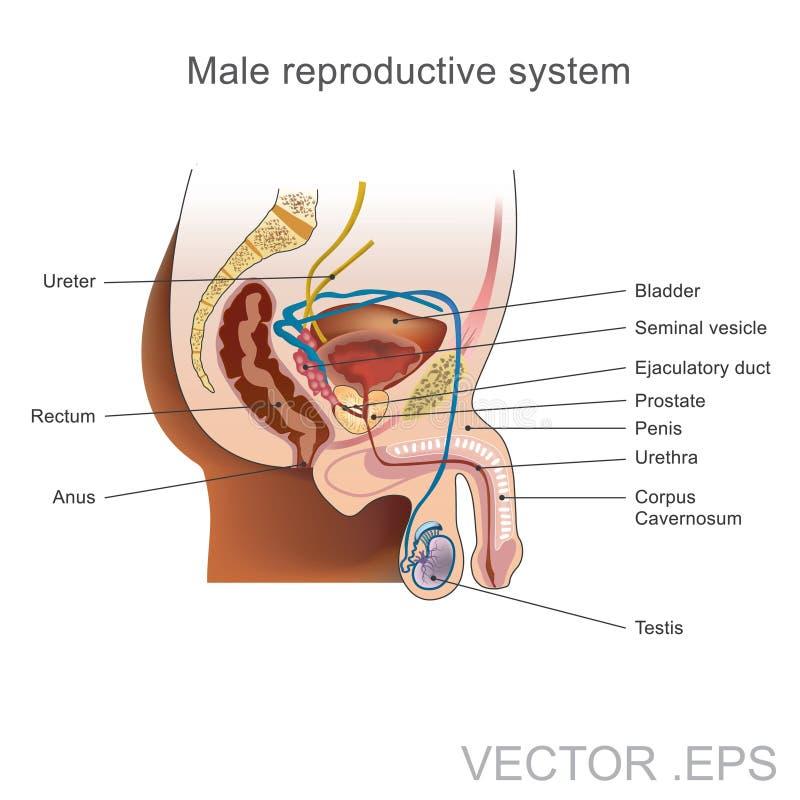 El Sistema Reproductivo Masculino Ilustración del Vector ...