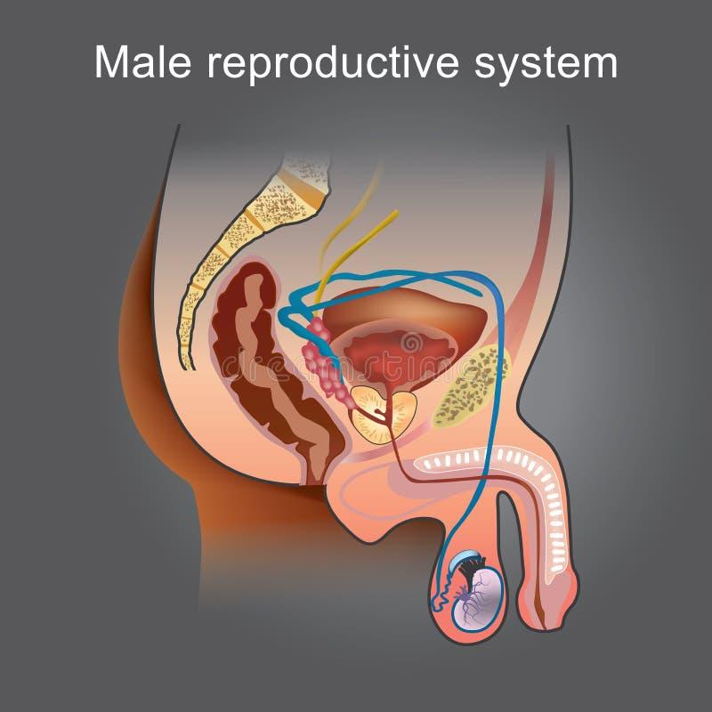 Vistoso Etiqueta Del Sistema Reproductor Masculino Colección de ...