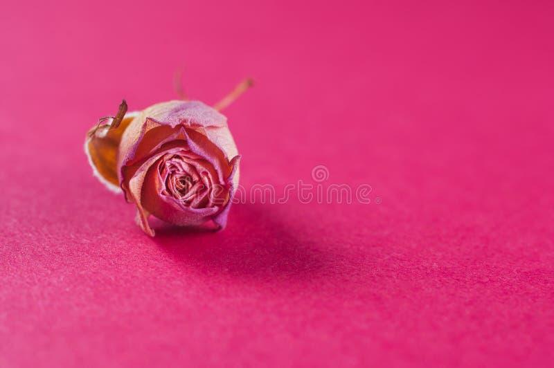 El sitio enano marchitado de la flor subió color rosado en un fondo rosado apacible, primer fotos de archivo