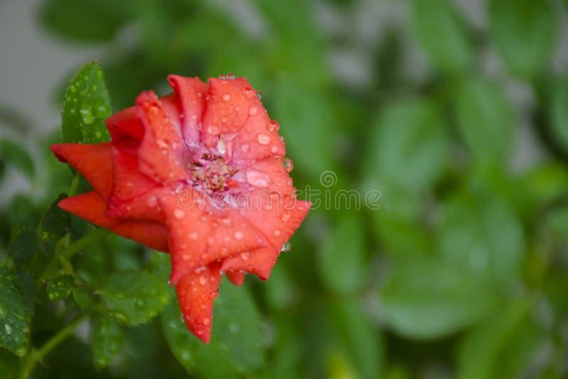 El sitio rojo subió flor y las hojas verdes en descensos del agua foto de archivo