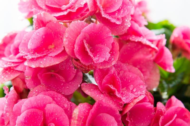 El sitio rosado de las flores de la azalea con descensos del agua se cierra para arriba fotos de archivo
