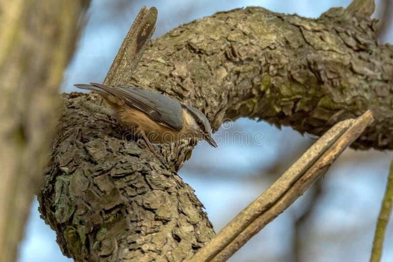El Sitta de los trepatroncos es un género de pájaros cantantes imagen de archivo