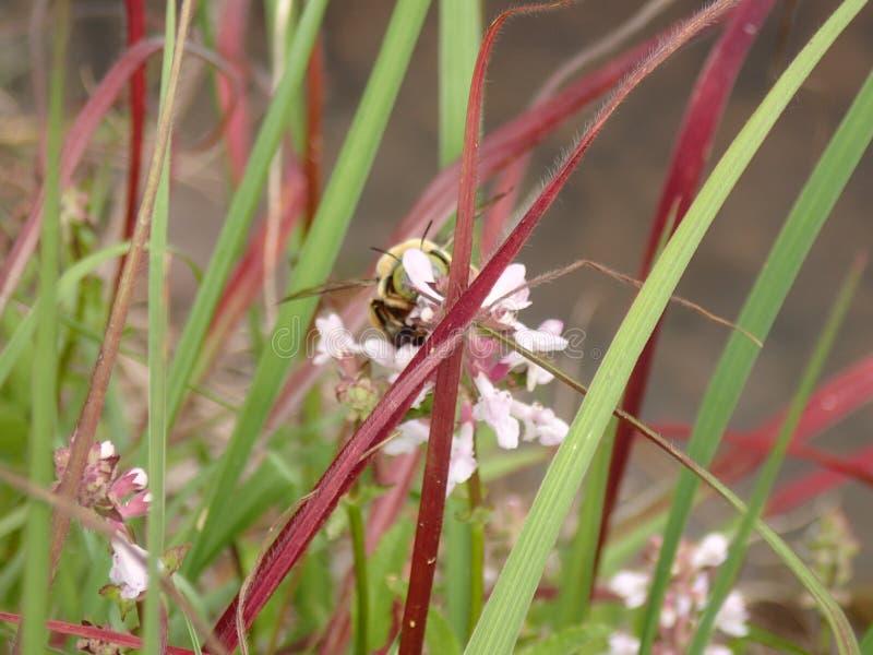 El snacking del abejorro imagen de archivo libre de regalías