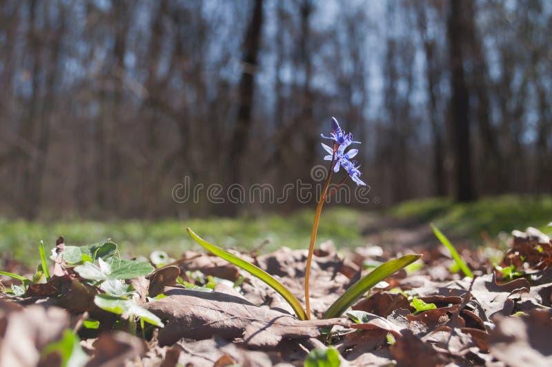 El snowdrop azul salvaje crece en el bosque en primavera temprana BI de Scilla imágenes de archivo libres de regalías