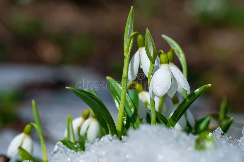El snowdrop hermoso florece el crecimiento en nieve en bosque temprano de la primavera fotos de archivo
