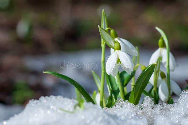 El snowdrop hermoso florece el crecimiento en nieve en bosque temprano de la primavera fotos de archivo libres de regalías