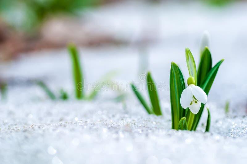 El snowdrop hermoso florece el crecimiento en nieve en bosque temprano de la primavera imagen de archivo
