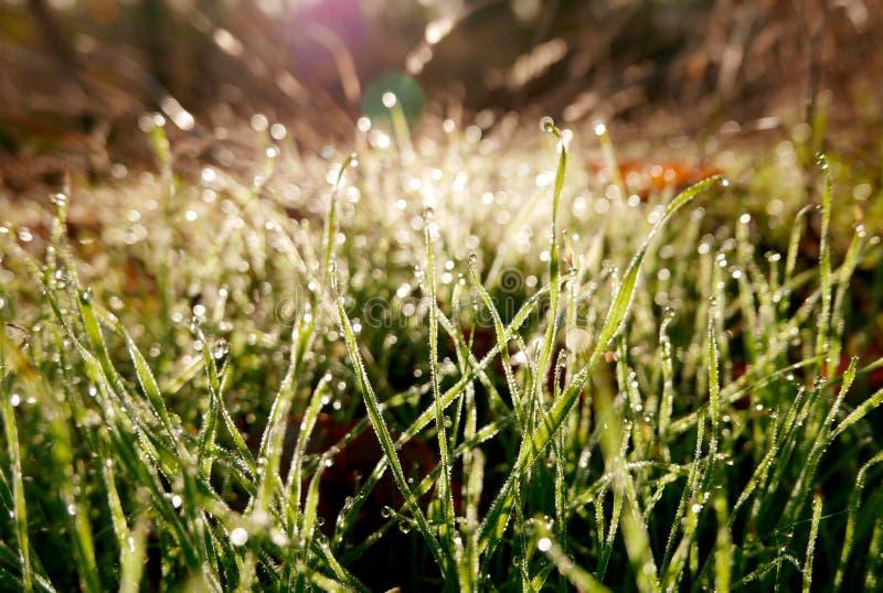 El sol de la mañana hace que el rocío en la hierba brilla como diamantes imágenes de archivo libres de regalías