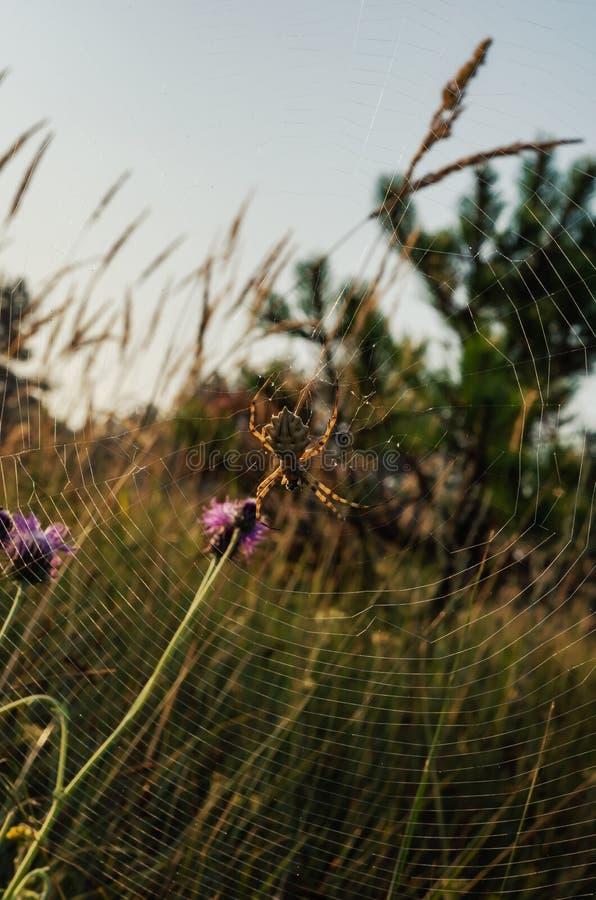 El sol de salida ilumina la web con un lobata del Argiope de la araña Tiroteo en el nivel del ojo Macro Opción vertical de Counte foto de archivo libre de regalías