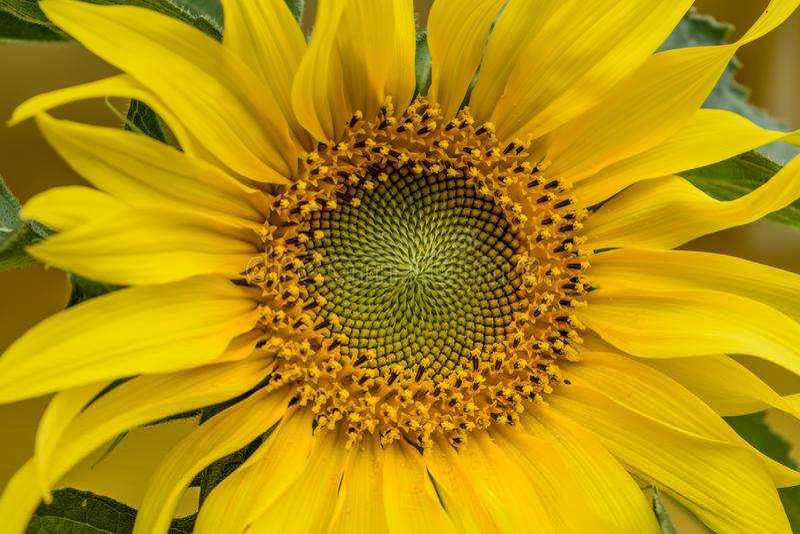 El sol del girasol imágenes de archivo libres de regalías