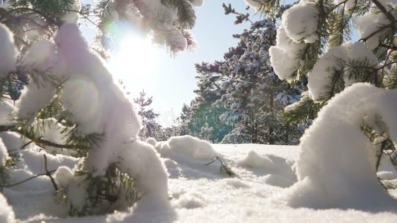 El sol del invierno se rompe a través de las ramas nevadas del abeto foto de archivo libre de regalías