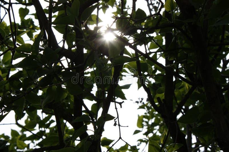 El sol en la puesta del sol viene a través de las ramas de la lila y de hojas Profundidad del campo baja fotos de archivo libres de regalías