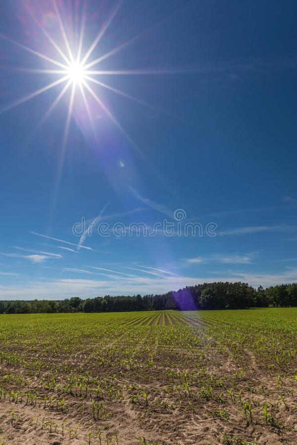 El sol sobre el campo con las plantas del maíz jovenes fotos de archivo libres de regalías