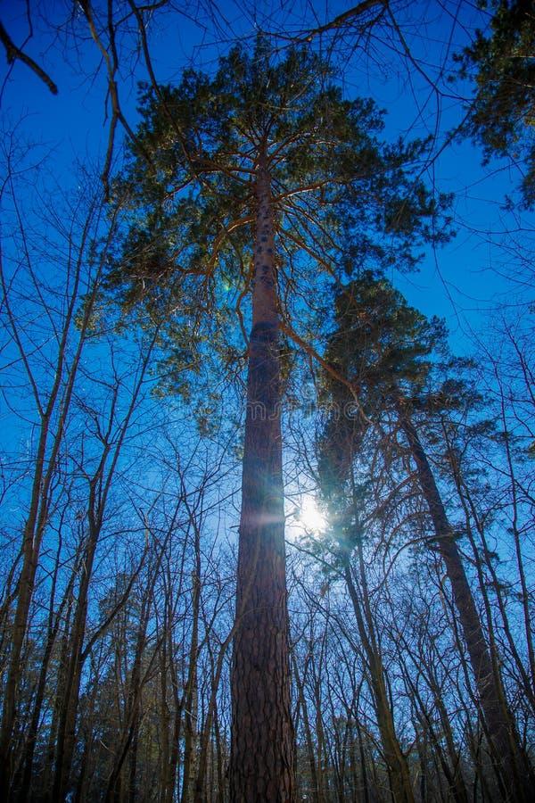 El sol a través de las ramas de los pinos imagenes de archivo