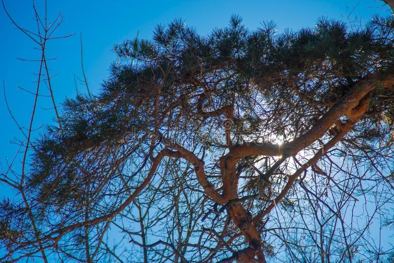 El sol a través de las ramas de los pinos foto de archivo
